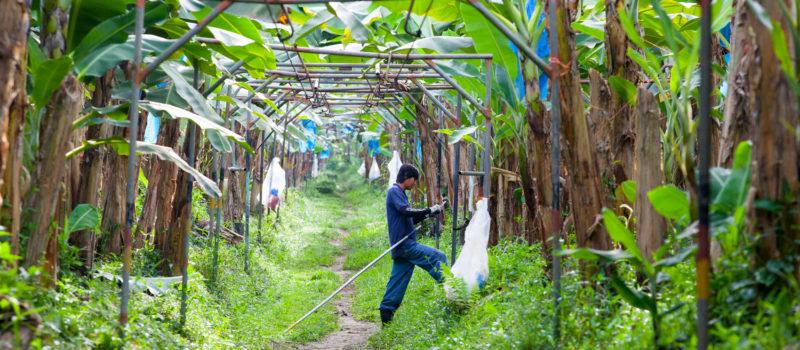 Banano sostenible